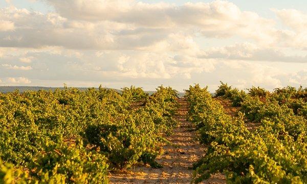 Bodegas Viñas del Cenit viñedos - Terraselecta
