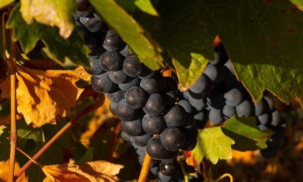 Bodegas Viñas del Cenit uvas - Terraselecta