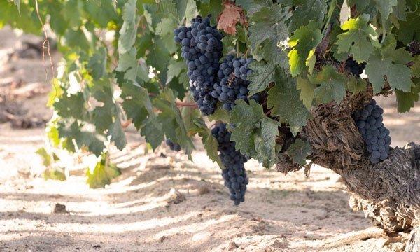 uvas viñedo bodega dominio de atauta