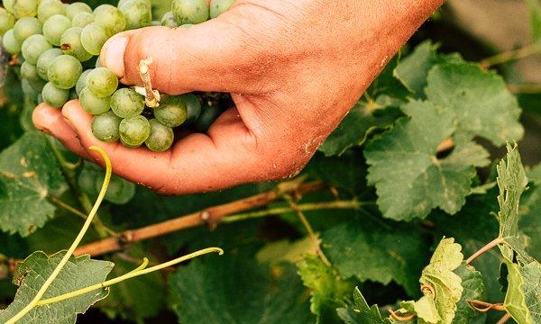 uvas bodegas naia terraselecta