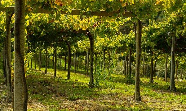 Viñas de bodega viña Nora - Terraselecta