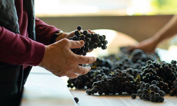 selección uvas bodega obalo rioja