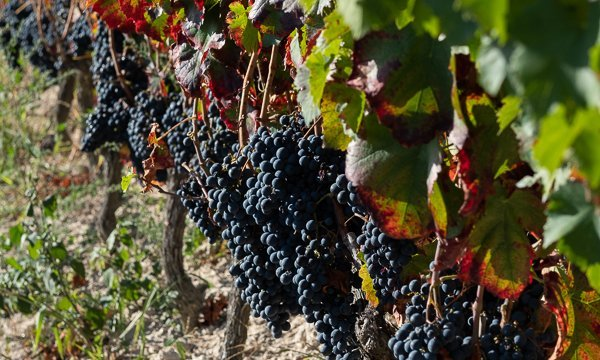 uvas viñedo pazos del rey